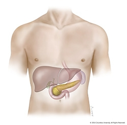 The pancreas and its functions columbia university department of the pancreas is an organ located in the abdomen it plays an essential role in converting the food we eat into fuel for the bodys cells ccuart Images